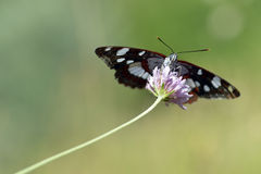 Southern White Admiral butterfly on flower Royalty Free Stock Photo