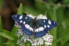 Southern White Admiral (Limenitis reducta) Stock Image