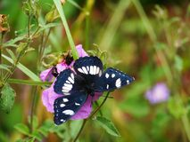 A Southern White admiral on a magenta flower Stock Image
