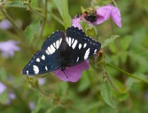 A Southern White admiral on a magenta flower Stock Photo