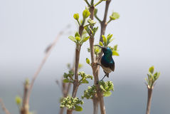 Southern White-bellied Sunbird. On a branch in spring, grey background Royalty Free Stock Images