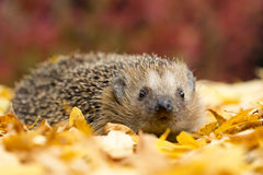 Southern white-breasted hedgehog Royalty Free Stock Photos