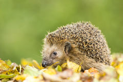Southern white-breasted hedgehog Stock Photography