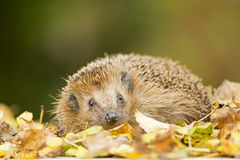 Southern white-breasted hedgehog Royalty Free Stock Photography
