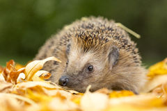 Southern white-breasted hedgehog Stock Photos