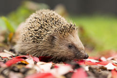 Southern white-breasted hedgehog Royalty Free Stock Images