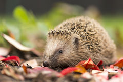 Southern white-breasted hedgehog stock image