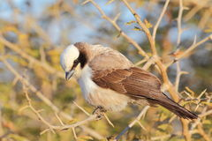 Southern White-crowned Shrike Stock Photos