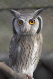 Southern white-faced owl Royalty Free Stock Images