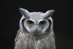 Southern white-faced owl Stock Photography