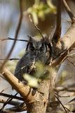 Southern White-faced Owl fledgling Stock Photo