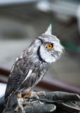 Southern white faced owl Royalty Free Stock Images