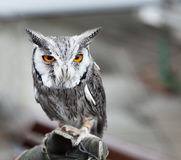 Southern white faced owl Stock Image