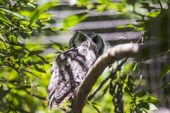 Southern White-Faced Owl Ptilopsis granti Stock Photos