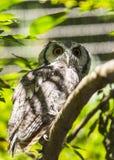 Southern White-Faced Owl Ptilopsis granti Stock Images