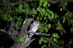 Southern white-faced owl Royalty Free Stock Photo