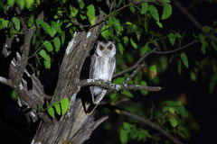 Southern white-faced owl Royalty Free Stock Photos