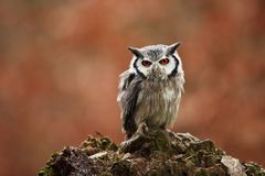 Southern White-faced Owl. Ptilopsis grants. African owl. Royalty Free Stock Images