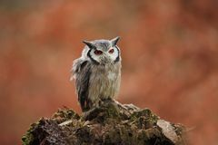 Southern White-faced Owl. Ptilopsis grants. African owl. Stock Photos