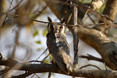 Southern White-faced Owl Stock Image