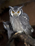 Southern White Faced Scops Owl Royalty Free Stock Photos