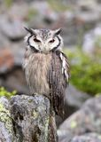 Southern White-faced Scops Owl Royalty Free Stock Image