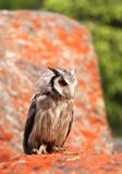 Southern White-faced Scops Owl Stock Image