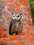 Southern White-faced Scops Owl Stock Images