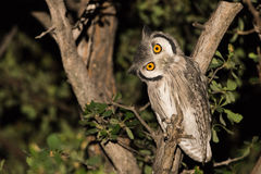 Southern white faced scops owl. Souther white faced scops owl (Ptilopsis granti) at night, Botswana Stock Images