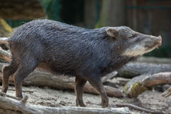 Southern white-lipped peccary Tayassu pecari albirostris Royalty Free Stock Photo