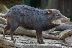 Southern white-lipped peccary Tayassu pecari albirostris Royalty Free Stock Photography