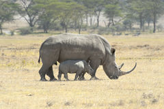 Southern White Rhino with calf Stock Image