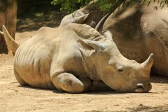 A southern white rhino calf lying next to its mother stock photography