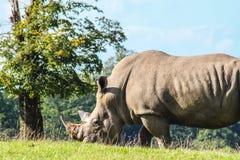 Southern white rhino stock image
