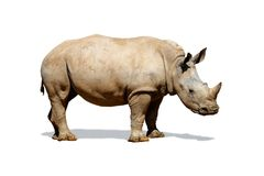 Southern White Rhino Isolated on White. Side view of a large Southern White rhinoceros isolated on white Stock Photo