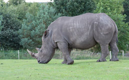 Southern White Rhino. Making a nice job of the lawn at West Midlands Safari Park, England Royalty Free Stock Photos