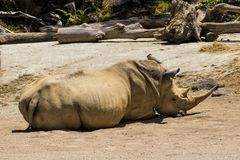 Southern White Rhino. Also known as Ceratotherium simum simum having a sleep in the sun Stock Images