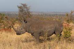 Southern white rhino standing in the African savannah stock images