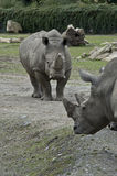Southern White Rhinoceros Stock Image