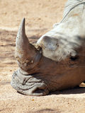 Southern  white rhinoceros Stock Images