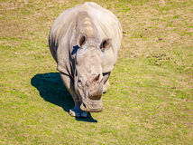 Southern White Rhinoceros. Adult southern white rhinoceros roaming on the dry land Royalty Free Stock Images