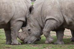 Southern white rhinoceros Ceratotherium simum. Southern white rhinoceros Ceratotherium simum simum Stock Photos