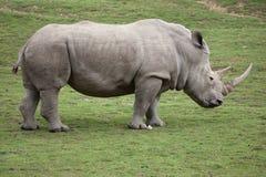 Southern white rhinoceros Ceratotherium simum. Southern white rhinoceros Ceratotherium simum simum Stock Image