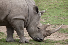 Southern white rhinoceros Ceratotherium simum. Royalty Free Stock Images