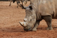 Southern White Rhinoceros - Ceratotherium simum Royalty Free Stock Images