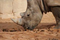 Southern White Rhinoceros - Ceratotherium simum Royalty Free Stock Image
