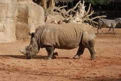 Southern White Rhinoceros - Ceratotherium simum Stock Photo