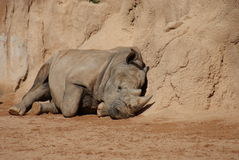 Southern White Rhinoceros - Ceratotherium simum Royalty Free Stock Photos