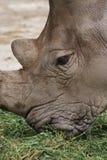 Southern White Rhinoceros - Ceratotherium simum Stock Photography
