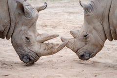 Southern white rhinoceros Ceratotherium simum simum. Critically endangered animal species.  stock photos
